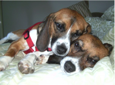 The Truth About Laboratory Beagles
